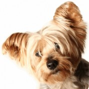 Great-Yorkies profile image