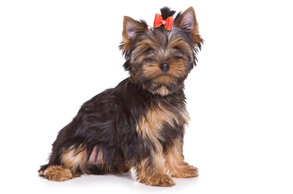 Your new Yorkie puppy: How do you choose the perfect name?