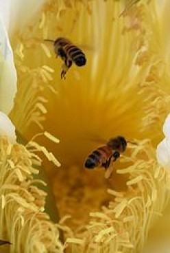 Bees - Honey Bee Colony Collapse