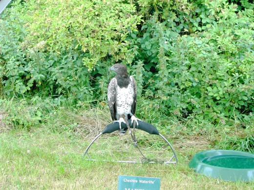 Some of the birds of prey are large and kept behind barriers for safety reasons unless the falconer is on hand .Photograph by D.A.L.
