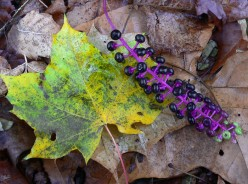 The pokeweed: beautiful, poisonous and useful!