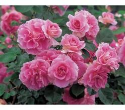 Carefree Wonder Rose