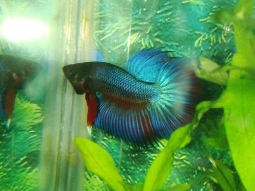 A lovely CT X I bred. Want to know how to breed fish like this? Read on!