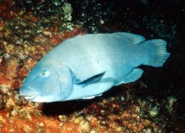 swimming with blue groper in Sydney !