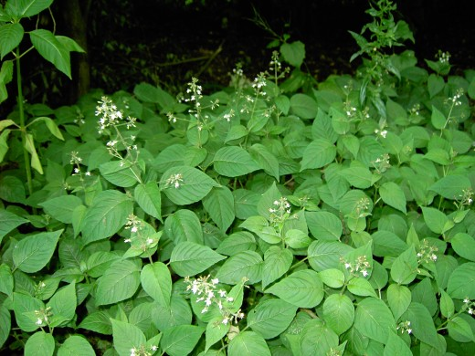 Enchanter's nightshade is a plant of shady places. Photograph by D.A.L.