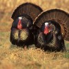 Learn how to call a turkey successfully