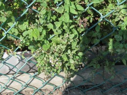Oregano plant with just enough of the purple flower left to see.