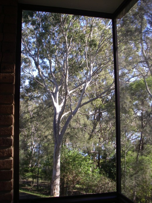 Blue sky, gum trees and birds, typical Australian scenery
