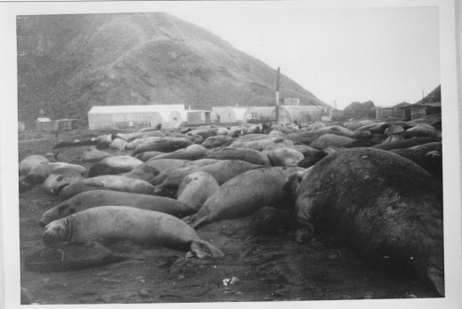 Elephant Seal Harem near our base camp.   Note the old bull - Beach Master - bottom right.