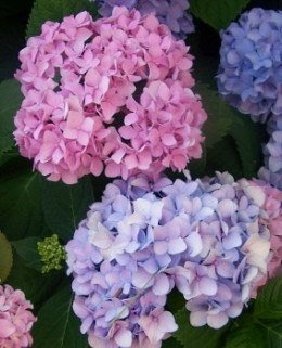 Different colors of hydrangea flowers, showing the difference between those grown in acidic soil (pink flowers) and those grown in  alkaline soil (blue flowers).