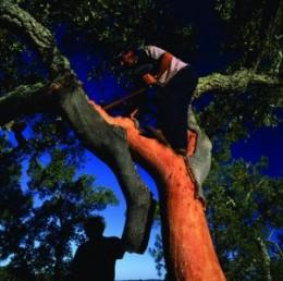 Harvesting Bark From A Cork Oak Tree