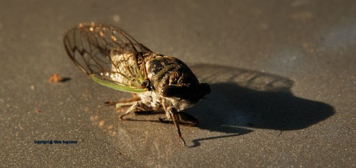 A cicada, Tibicea auletes, aka a dog days locust, was found dead on the hood of my Chevy truck. They live high in the trees and are mostly solitary in Michigan.