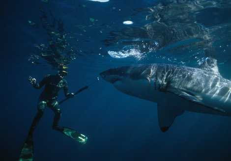 After luring a great white shark (Carcharodon carcharias) with chum, diver Andre Hartman ends up perilously close to the premier predator off the coast of Gansbaai, South Africa. Although attacks on humans do occur—with some resulting in death—shark