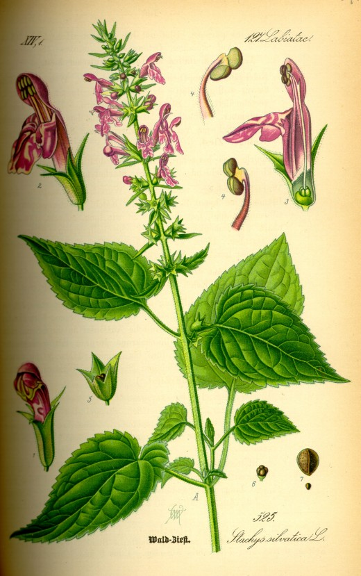 Components of the hedge woundwort.