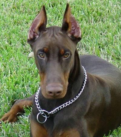 A Doberman with a choke collar
