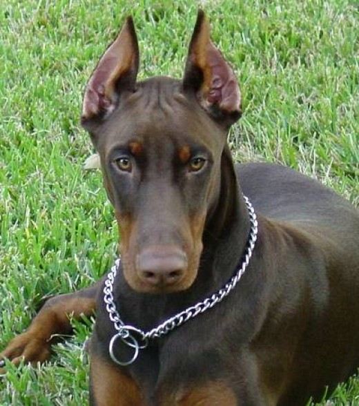 A Doberman with a choke collar