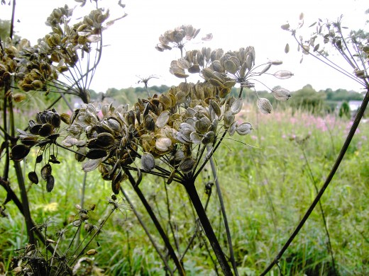 "The common hogweed produces numerous flattened seeds with ""wings"" that help the wind to carry them. It is one of many of the parsley family do so. Photograph by D.A.L."
