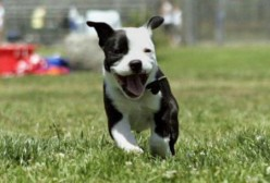 English Staffordshire Terrier Puppies