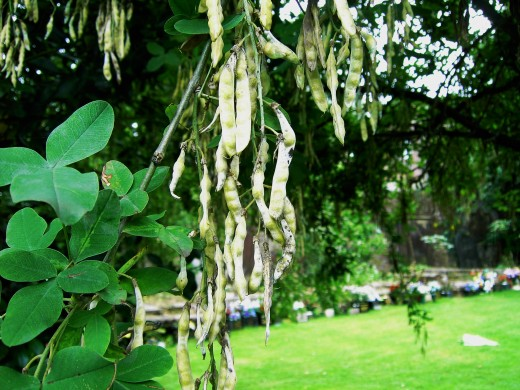 The seeds inside these laburnum pods are poisonous and dangerous to pets and children. Photograph by D.A.L.
