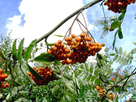 Rowan protects its seeds in its familiar berries until they are ripe.Photograph by D.A.L.