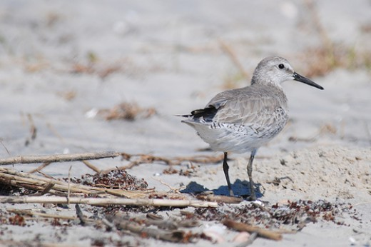 Red Knot, by The Lilac Breasted Roller