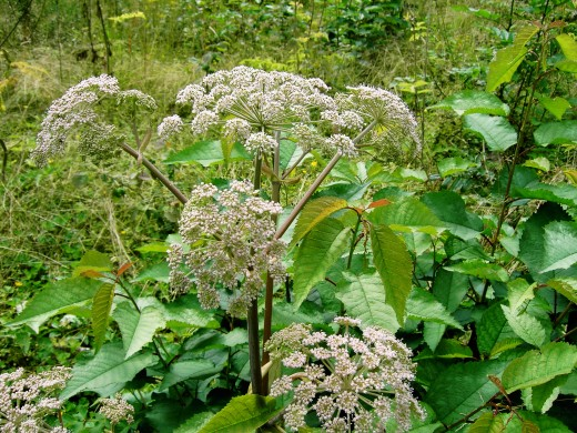 The flower heads of angelica.Photograph by D.A.L.