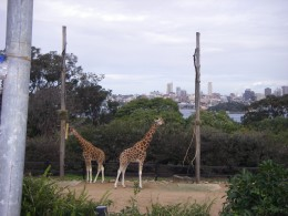 Giraffes with the Sydney skyline as background