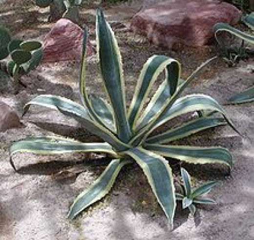 Fig. 4  Agave Plant used as thread and needles