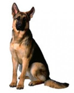 Aggressive Behavior in German Shepherd Dogs