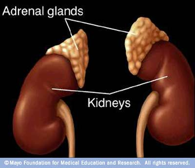 Location of adrenal glands in the body.