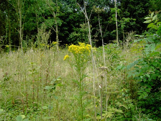 The notorious ragwort. Photograph by D.A.L.