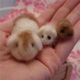 Guinea Pigs Without Hutches