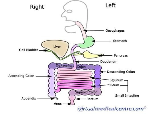How food travels in our digestive system.