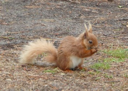 Brownsea Island resident, name of Nutkin