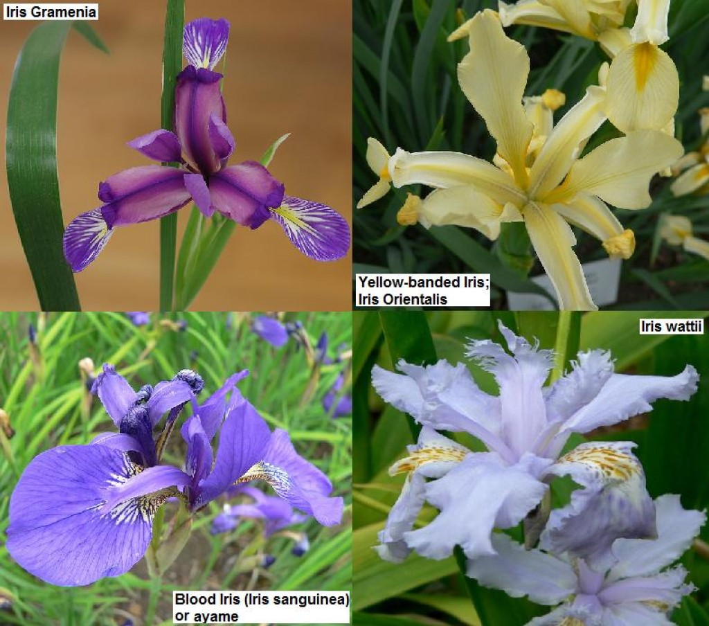 Iris Flower Facts and Meaning