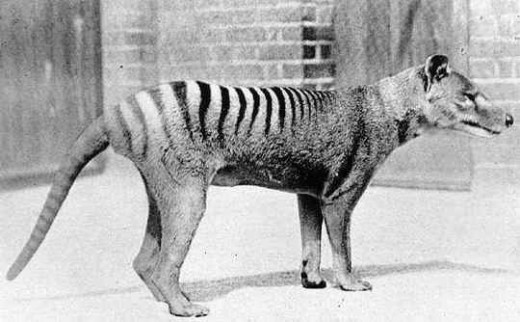 Thylacine - now extinct