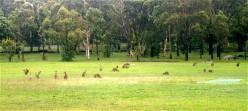 kangaroo pastures