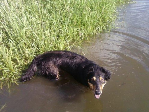 Most dogs enjoy swimming when it's hot.