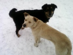 Some dogs love playing in the snow.