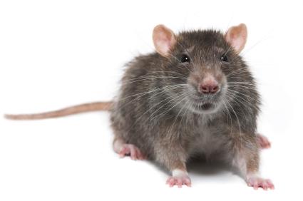 EEK! A Rat!