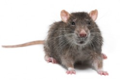 Stopping the Furry Invasion, Rat Trapping Tidbits