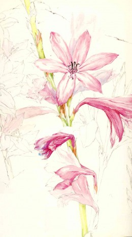 "Watsonia pyrimidata. By Liz McMahon, from ""A Fynbos Year"", David Philip, 1988."