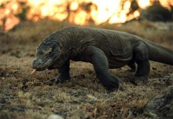 Komodo Dragons Endangered and Majestic