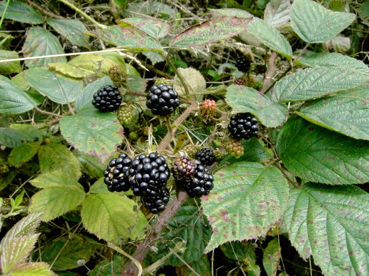 Black berries are eagerly sought after by humans and animals alike. Photograph by D.A.L.