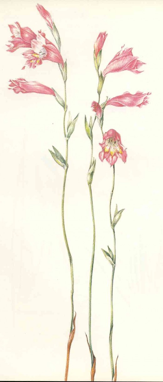 "Gladiolus brevifolius. Painting by Liz McMahon, From ""A Fynbos Year"" by Liz McMahon and Michael Fraser"