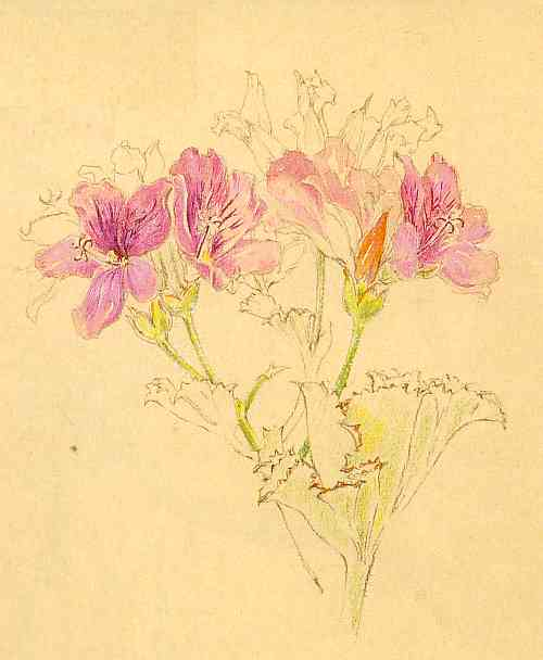 """Pelargonium cucullatum by Liz McMahon. From """"A Fynbos Year by Liz McMahon and Michael Fraser"""