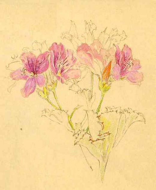 "Pelargonium cucullatum by Liz McMahon. From ""A Fynbos Year by Liz McMahon and Michael Fraser"