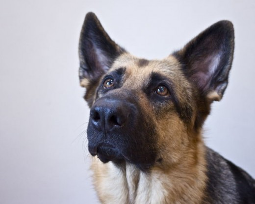 german shepherd, show dog, phila67, morguefile.com
