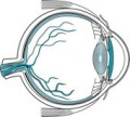 The cornea is a transparent membrane that covers the front of the eye!