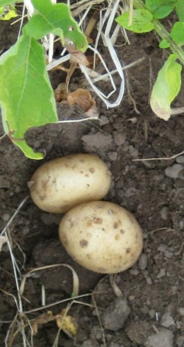 photo:    two new potatoes just unearthed.